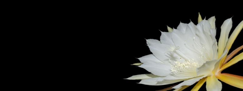 Epiphyllum cuidados