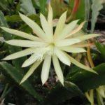 id - Epiphyllum comprar