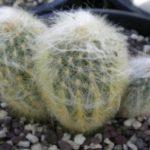 Id - cactus espostoa